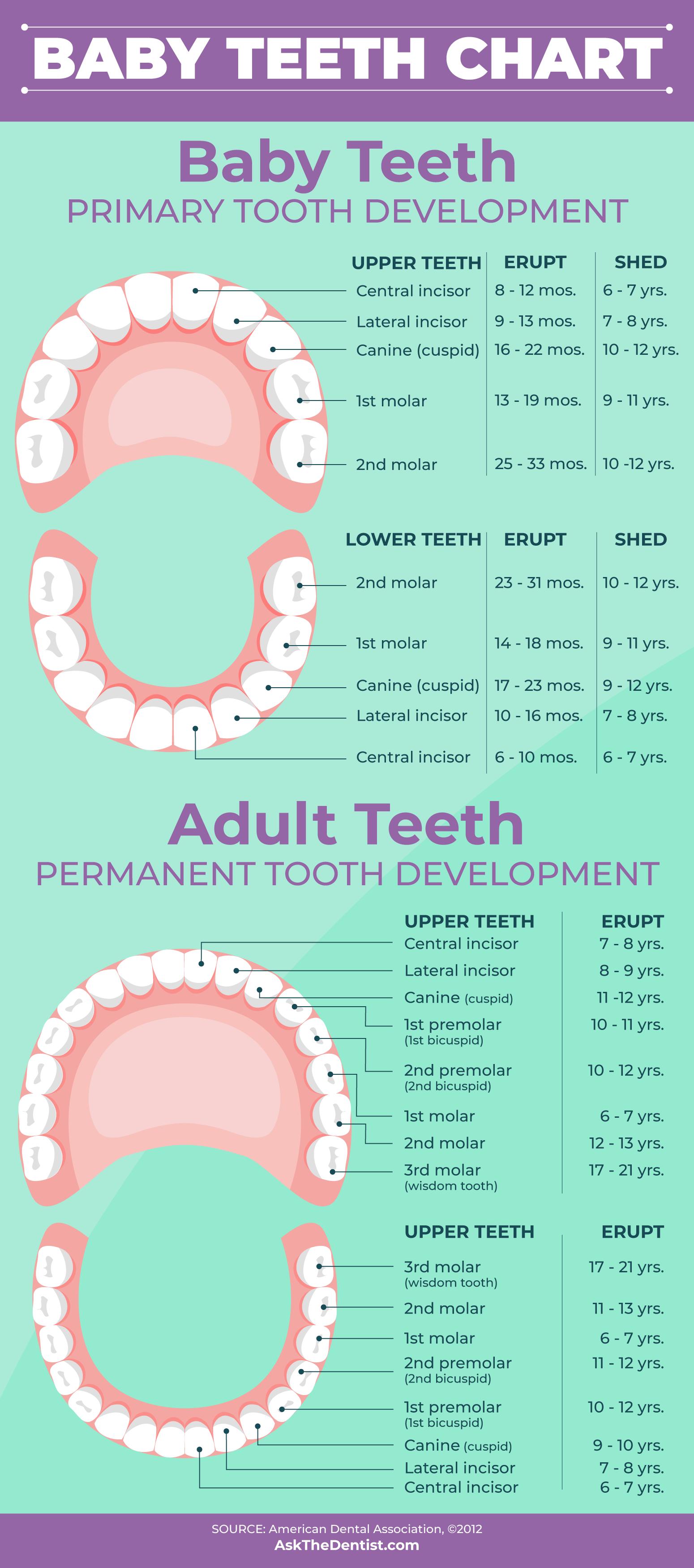 Tooth development chart